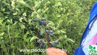 видео Жимолость - описание сортов, посадка и уход, размножение