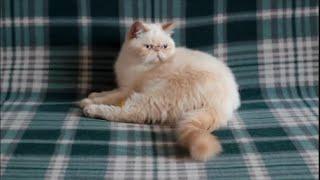 Экзотический короткошерстный котик Иржик