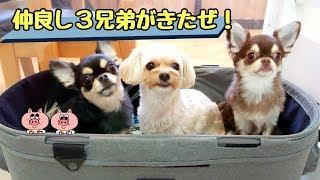 3犬一緒! チワワ ミミちゃん フレンチブルドッグ マリンちゃん トイプ...