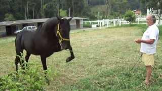 Cavalo Negro Andaluz adestrado de nome Apocalipse.