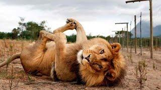 ТОП 5 лучшие видео со львом 2015. Милый лев.