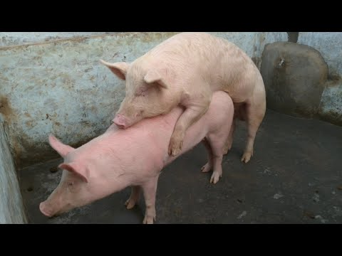 Pig Crossing,matting the pigs,male female mating vidio thumbnail