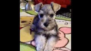 Baby Miniature Schnauzer Puppy Flipagram - Misa