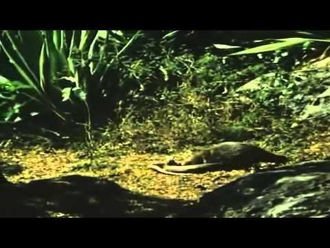 Chồn chiến đấu với rắn hổ mang chúa để cứu chủ
