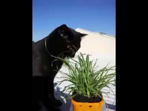 Se7en the Bombay eating his cat grass outside.