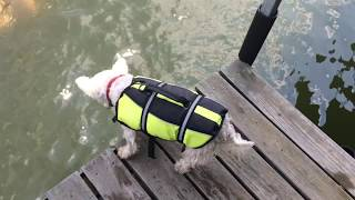 My West Highland Terrier Hates Me Being in the Water. Hilarious! Silly Dog!