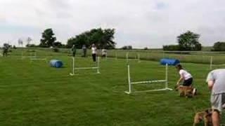 Border Terrier Agility Relay Race