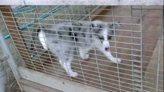 2011年4月20日生まれメス(撮影日2011年8月1日) アライ畜犬牧場.