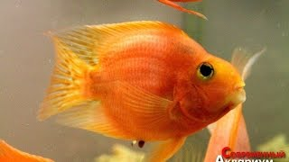 Раскрыт секрет размножения рыбы Попугай Red Parrot