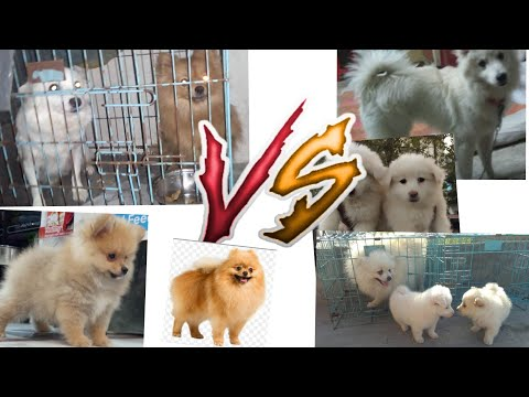Adult : Culture Pomeranian vs Spitz (pomelion) Learn The Differences