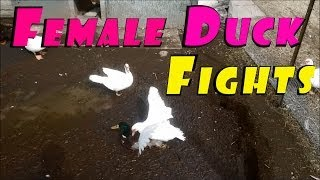 Fear of Freedom & Females Beating Up The Drakes #120 Breeding Ducks