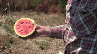How To Tell If A Watermelon Is Ripe: Harvest Tips | Seeds of Change