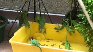 Chameleon feeding frenzy