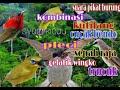 Suara Pikat Burung Ribut Burung Kecil Jenis Apapun Pasti Lengket  Mp3 - Mp4 Download