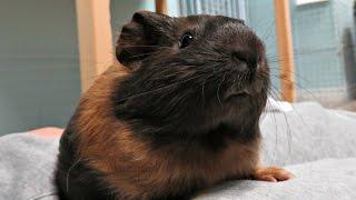 New Pet Room Morning Routine: 11 Guinea Pigs & 1 Rabbit