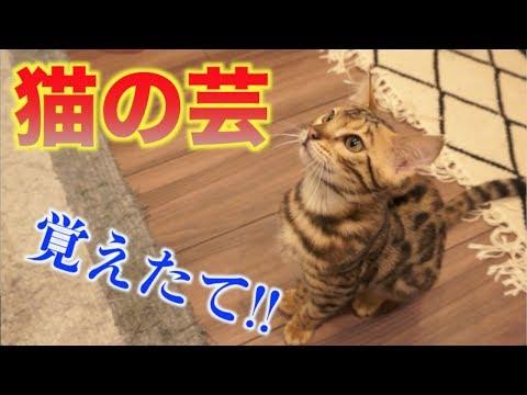 【神業】猫たちが芸を覚えました!!