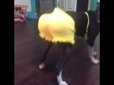 Un chien qui danse la Zumba