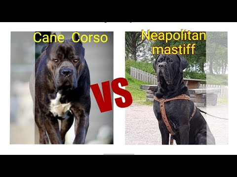 Neapolitan  mastiff  vs Cane Corso Dog Comparison by Dog tubed.