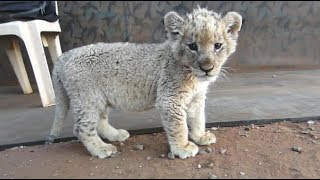 Cute Baby Lion Feeding and Exploring