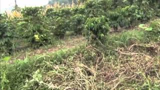 中国 雲南省 普洱市 澜沧县 勐矿村のバナナ畑とコーヒー豆畑