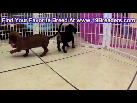 Miniature Dachshund, Puppies, For, Sale, In, Cheyenne, Wyoming, WY, Casper, Laramie,