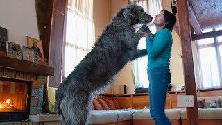 Любимицы семьи: бивер йорк и ирландский волкодав