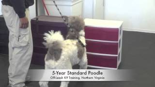 5-year Old Standard Poodle Doing Drug Detection! Nosework Northern Virginia