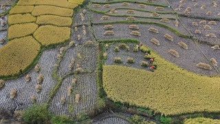 Farmers busy in rice harvest in NE China