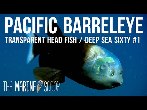TRANSPARENT HEADED FISH | Deep Sea Sixty #1