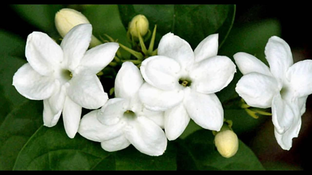 maxresdefault - Macam Macam Jenis Bunga Mawar