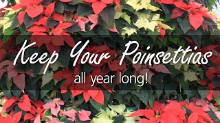 House Plant Care: Poinsettias after the Holidays