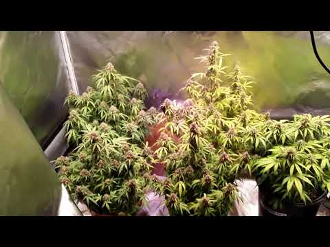Cheese Auto Flowers along with Norther Lights Autos Flowers & Blue Pyramid by Pyramid autoflowe