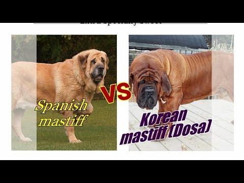 Korean mastiff vs Spanish mastiff.