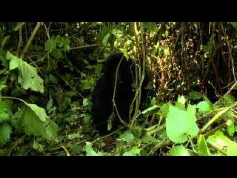 Gorilla Family in Congo: The Critically Endangered Mountain Gorillas of Central Africa