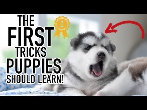 The First 3 Tricks You Should Teach Your Husky!