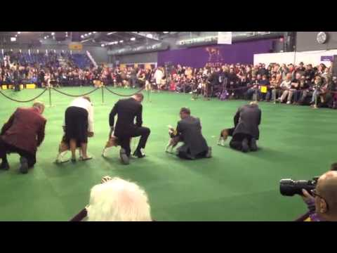 Miss P the Beagle Best of Breed at Westminster dog show in 2015