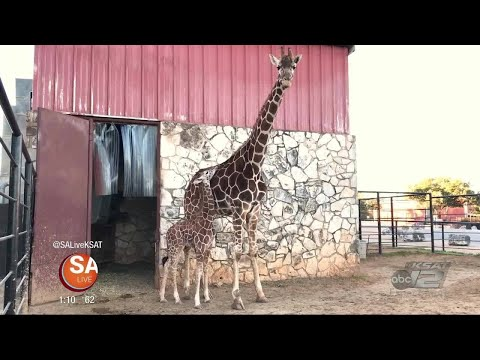 A tall order of cuteness: Meet Faith the newest member at the Natural Bridge Wildlife Ranch