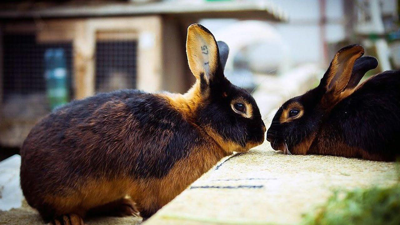 Кролиководы России, Тверь: кролики породы чёрно-огненный, рекс огненный.