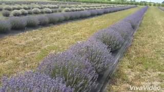 Lavender farm in Ontario