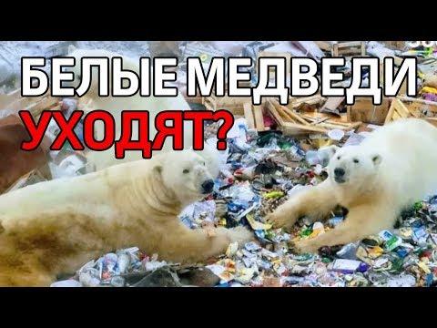 Вопрос: Что с белыми медведями на Новой Земле после их массового выхода к людям?