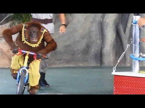 Orangutan Ride The Bike and Kids at the Zoo : Wild animals and Cute Elephant Show