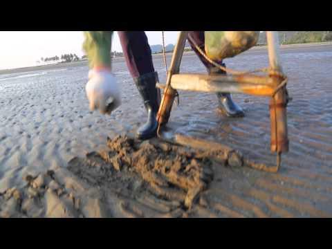 как ловят ракушку песчанку