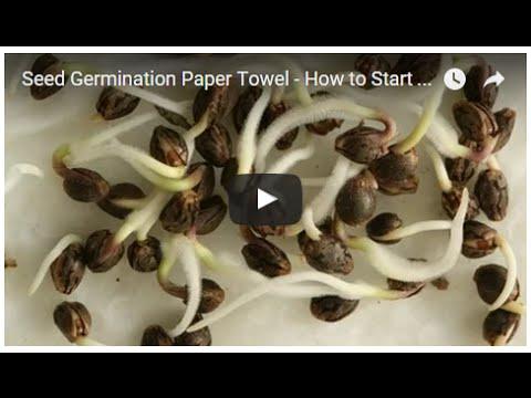 paper-towel-method-to-seed-germination-step-2
