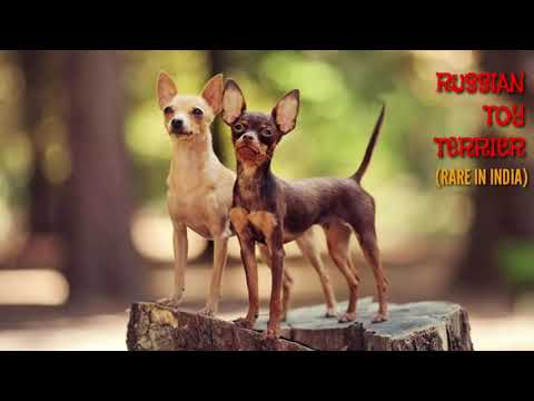 RARE: Russian Toy Terrier (Russkiy) for Sale in India. Russky Puppies (Toy Breed) : Boskys Kennel