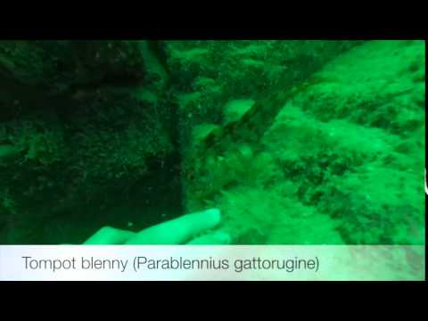 Tompot blenny (Parablennius gattorugine)