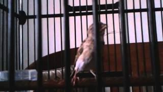 burung sanger muda