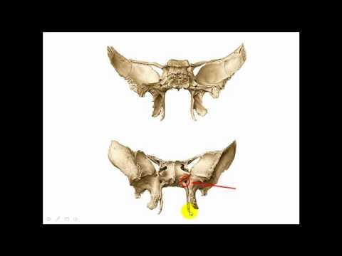 Huesos Esfenoides (Parte 3) - YouTube