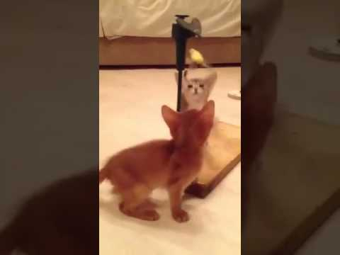 Abyssinian kittens playing with humming- bird
