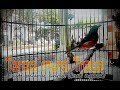 Terapi Pasti Nyauat Murai Trotol Umur 2 Bulan Party 2  Tembakan(.mp3 .mp4) Mp3 - Mp4 Download