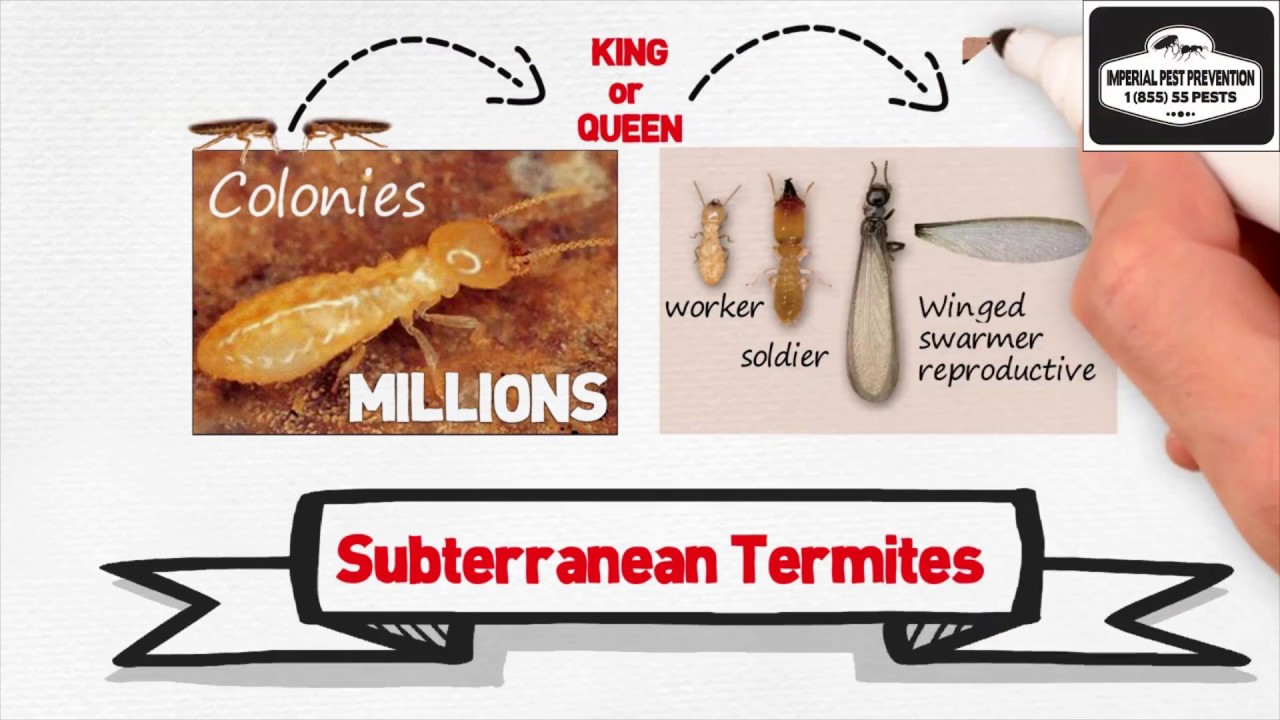 All About Eastern Subterranean Termites and Treatments